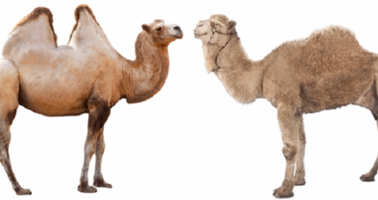 10 Interesting Facts About Camel 20 Behind History