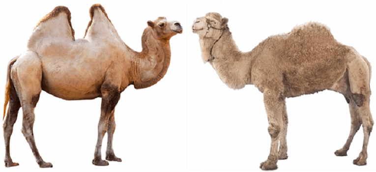 10 Interesting Facts About Camel 1 Behind History