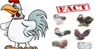 3 Chickens for Every Person Alive Today   Historic Facts 3 Behind History